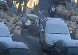 25 Schafe auf der Straße. Quelle:dailymail.co.uk