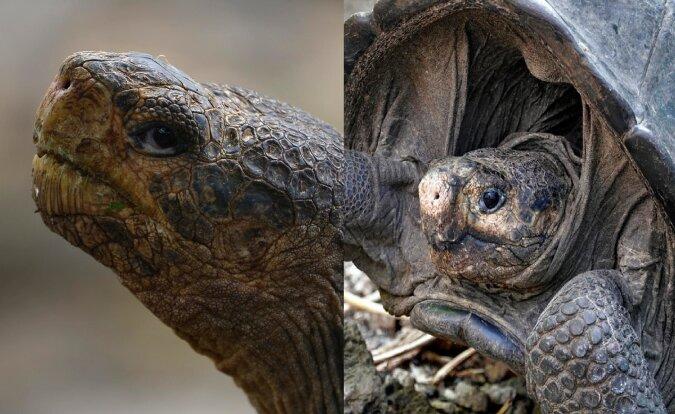 Fernandina-Riesenschildkröte. Quelle:dailymail.co.uk