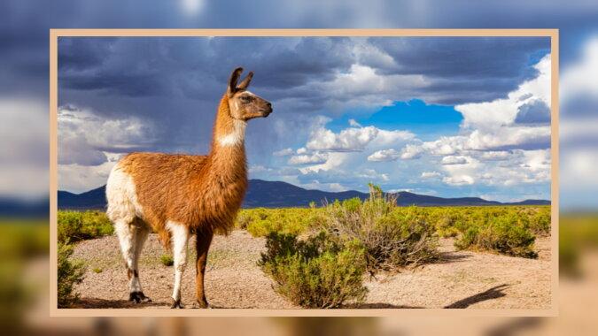 Ein Lama. Quelle: naukatv
