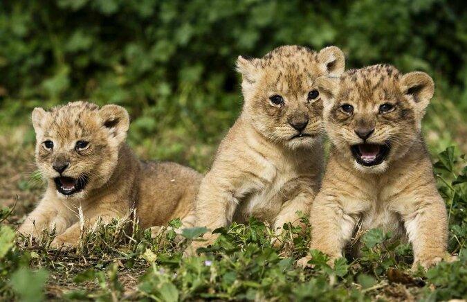 """""""Untrennbare Kinder"""": Süße Löwenbabys trennen sich von einander nicht und mögen es, sich im Schlaf zu umarmen"""