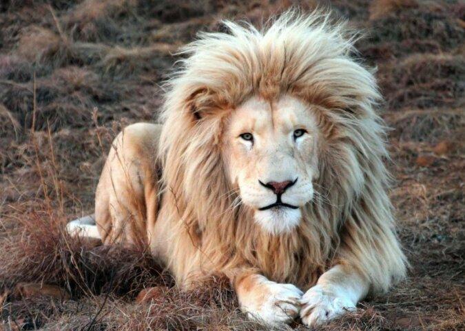 """""""Der König der Löwen in all seiner Pracht"""": Ein hübscher Löwe posiert vor der Kamera"""