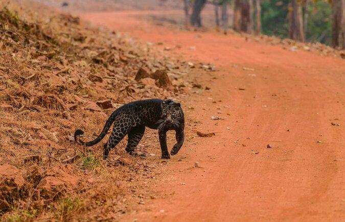 """""""Seltenes Aussehen"""": Der Fotograf hat einen einzigartigen schwarzen Leoparden aufgenommen"""