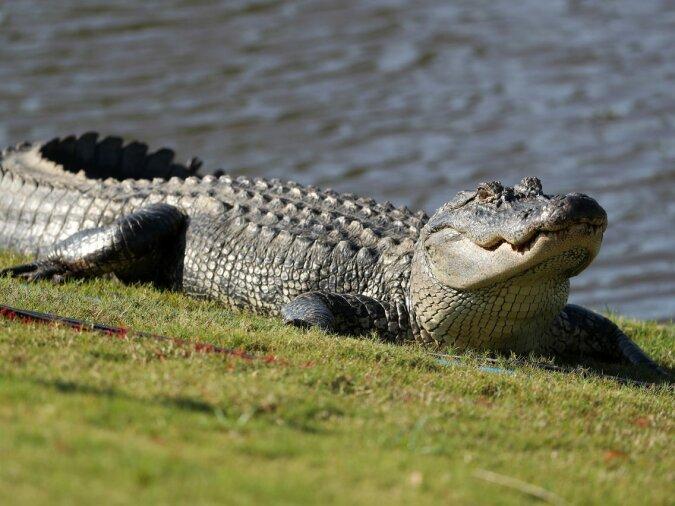 """""""Jagd seit Jahren"""": Ein Fischer fing einen Vier-Meter-Alligator, der einem Mann drei Jahre folgte"""