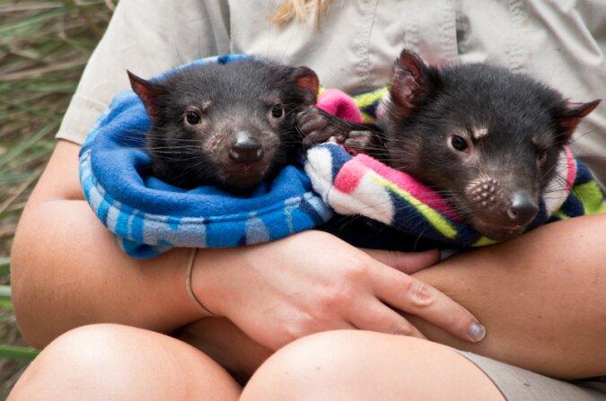 Tasmanische Raubtiere kehren 3.000 Jahre nach dem Artenschwund nach Australien zurück