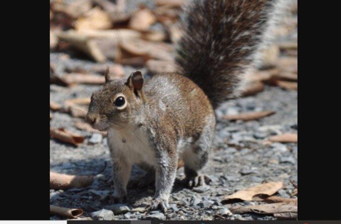 Mann konnte sein Auto lange Zeit nicht starten: Ein Eichhörnchen hatte sich unter der Motorhaube ein Haus gebaut