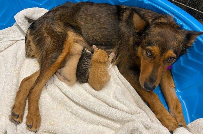 Wahre Mutter: Wie ist der Hund zu einer Pflegemutter für verwaiste Kätzchen geworden