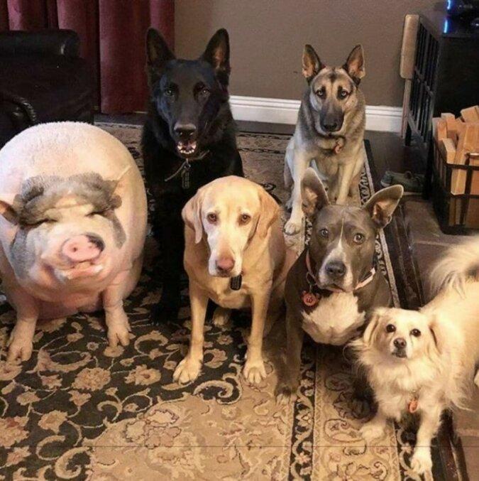 """""""Zu Hause unter Fremden"""": Schwein lebt mit 5 Hunden und denkt, dass es ein von ihnen ist"""