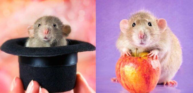 Ratte. Quelle: lemurov.net