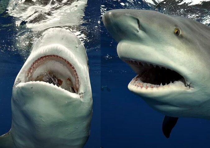 Bullenhai. Quelle:dailymail.co.uk