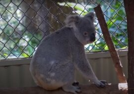Koala. Quelle:Screenshot  YouTube