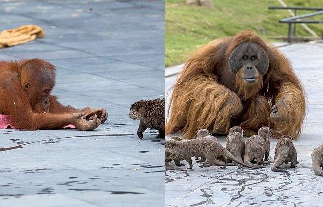 Orang-Utans und Otter. Quelle:dailymail.co.uk