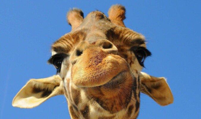 Die Giraffe. Quelle:dailymail.co.uk