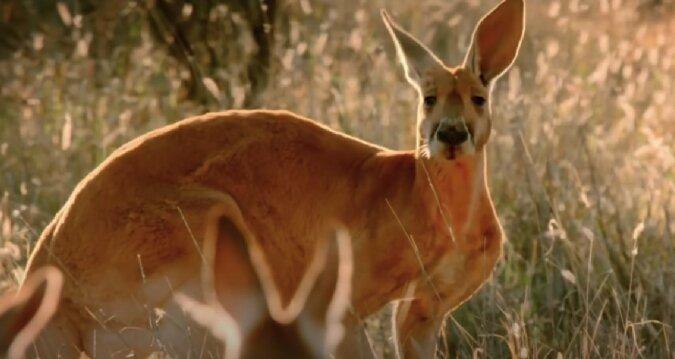 Känguru. Quelle: Screenshot YouTube