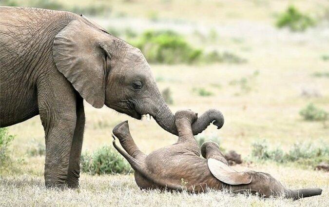 """""""Brüderliche Liebe"""": Zwei kleine Elefanten starteten ein lustiges Spiel auf dem Rasen"""