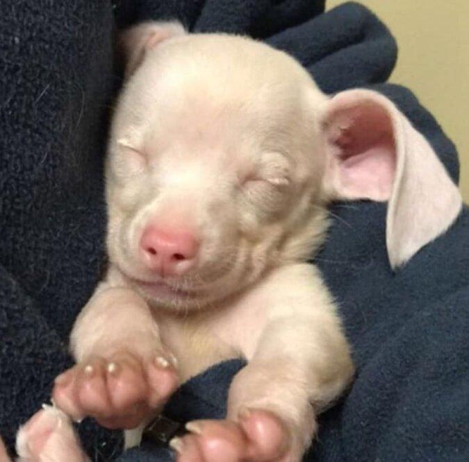 Ein Welpe namens Jumbo wurde rosa und taub geboren, aber er fand großartige Besitzer