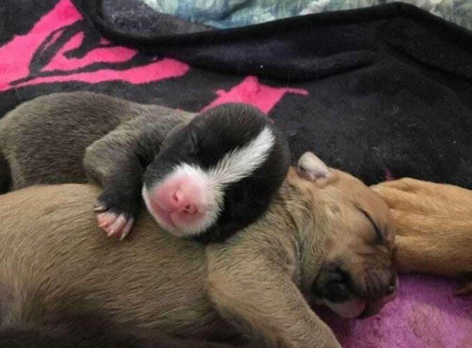 Mitarbeiter eines Tierheims fanden unter der Tür einen Pitbull und zehn Welpen, die Hündin-Mutter beschützen wollte