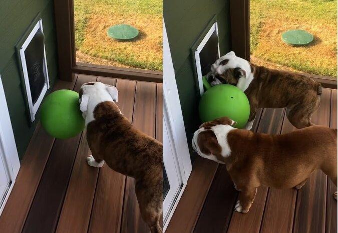 Die englische Bulldogge namensDoc. Quelle:dailymail.co.uk