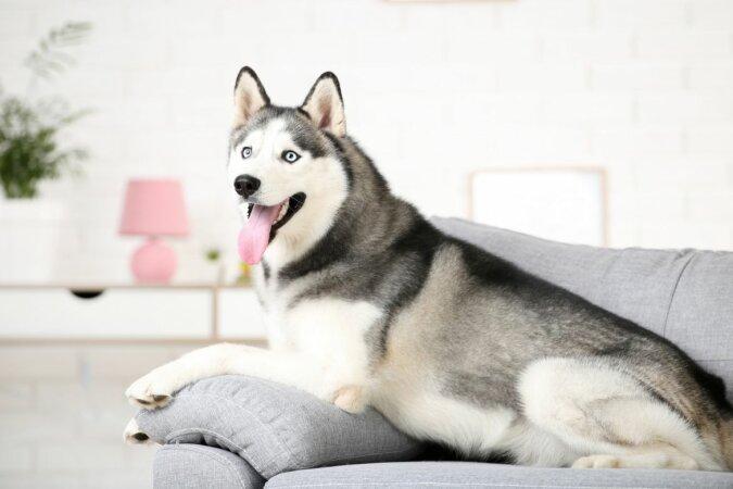 """""""Ohne Barrieren"""": Der Besitzer beschloss, den Husky zu Hause zu sperren, aber der Hund fand einen originellen Ausweg aus der Situation"""
