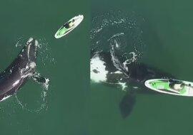 Ein riesiger Wal. Quelle:dailymail.co.uk