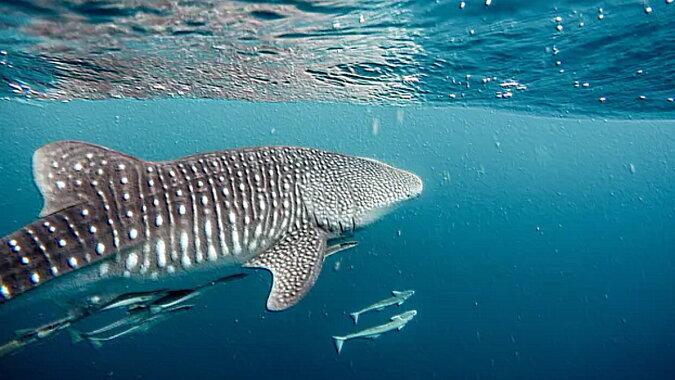 Ein Hai. Quelle: goodhouse