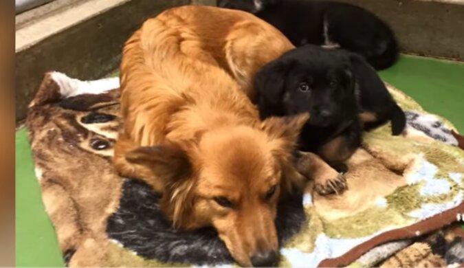 Ein Schäferhund aus dem Tierheim entkam nachts aus seinem Käfig, um kleine Welpen zu trösten