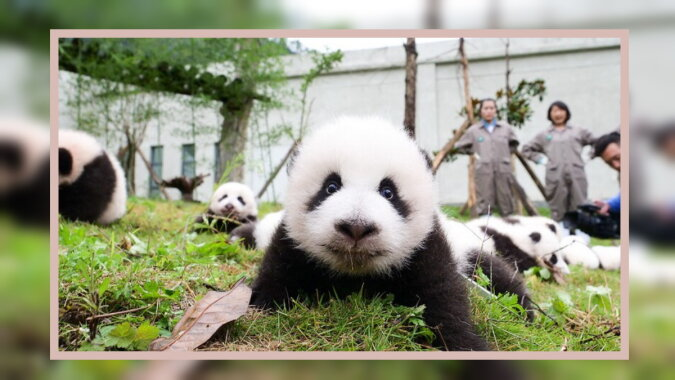 Ein kleiner Panda. Quelle: travelask