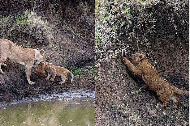 Die Löwin und ihr Löwenjunges. Quelle:dailymail.co.uk