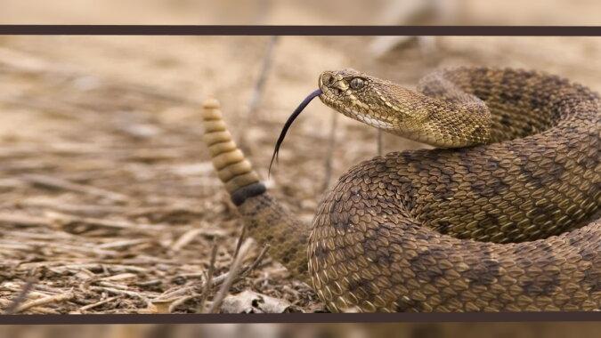 Eine Klapperschlange. Quelle: zen.yandex
