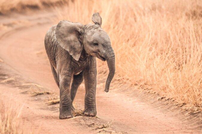 Ein indischer Förster hat einen neugeborenen Elefanten selbst in den Dschungel gebracht