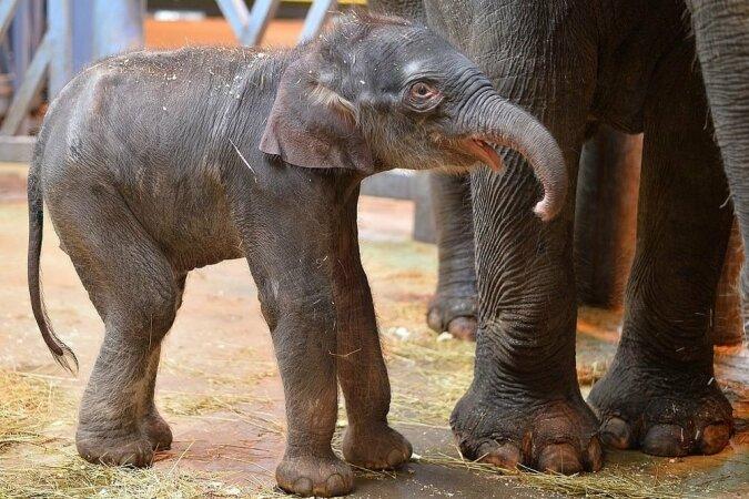 """""""Kleinen Elefanten retten"""": Retter gaben dem Tier ein zweites Leben, seine Mutter war ihnen sehr dankbar"""