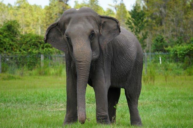 """""""Mutiges Herz"""": Die Katze hat nicht erwartet, einen Elefanten in ihrem Garten zu treffen"""