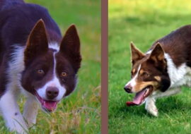 Der Hund, der in das Guinness-Buch der Rekorde aufgenommen wurde. Quelle: wi-fi.com