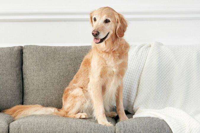 """""""Kleiner Helfer"""": Der Golden Retriever liebt es, wenn der Besitzer das Haus sauber macht, und kommt ins Spiel"""