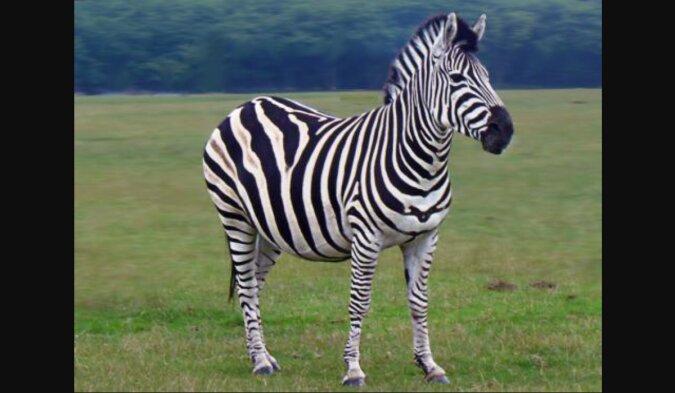 """Ein wildes Zebra freundete sich auf einem Bauernhof mit einem Esel an und brachte ein """"unbekanntes Tier"""" zur Welt"""