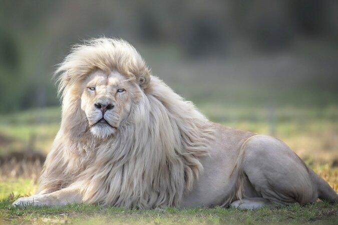 """""""König der Frisuren"""": Der weiße Löwe zeigt stolz jedem sein luxuriöses Haar"""