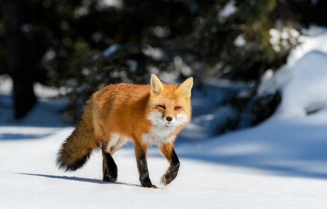 """""""Fang mich, wenn du kannst"""": Der Fuchs jagt wie ein springender Irrwisch seine Beute im Schnee"""