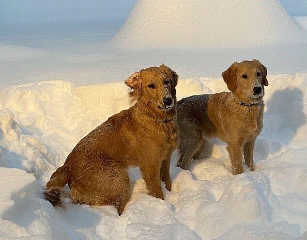 """""""Erstes Treffen"""": Goldene Retriever sahen zum ersten Mal Schnee und waren begeistert"""