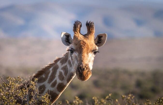 """""""Rettung von Langhalsigen"""": wie Tierschützer Giraffen aus überfluteten Gebieten Afrikas retten"""