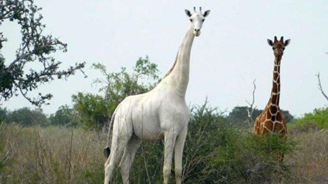 """""""Weißer Fleck auf der Karte"""": Die einzige weiße Giraffe der Welt traf Kameraobjektive"""